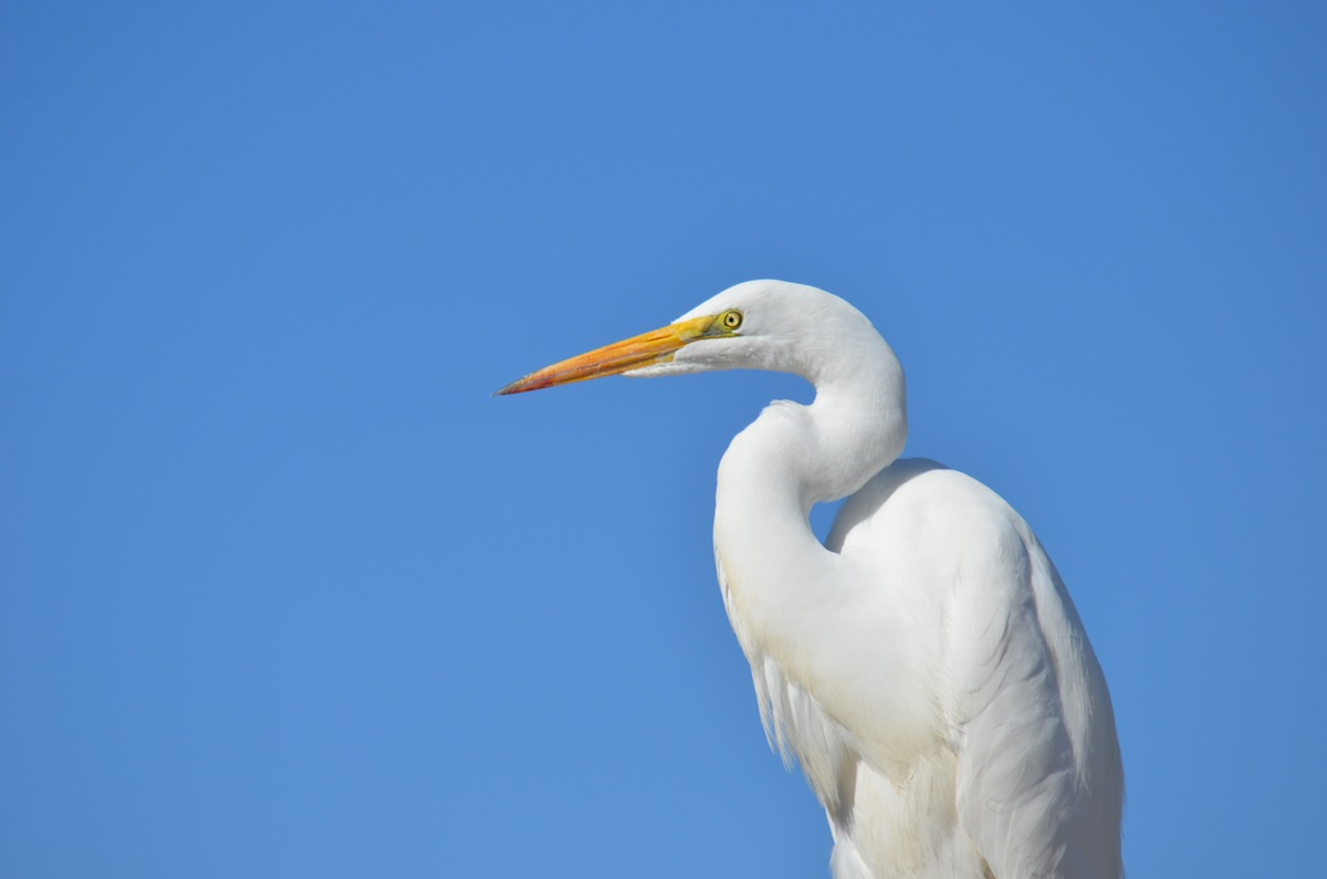 great white heron � rand pipp